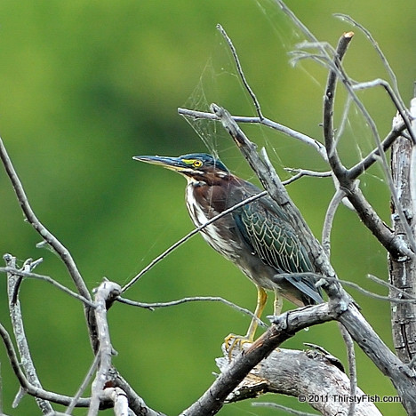 Green Heron, Spider Web