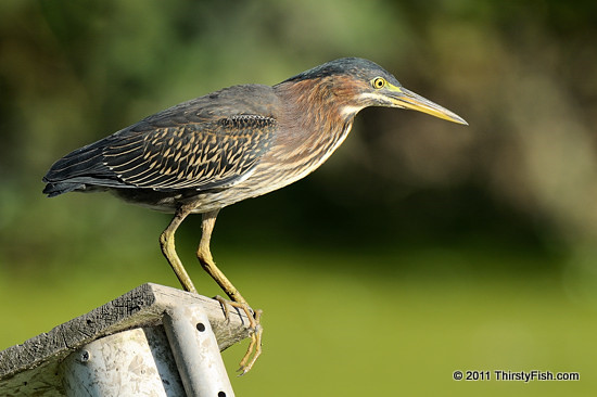 Green Heron, Full Body Portrait