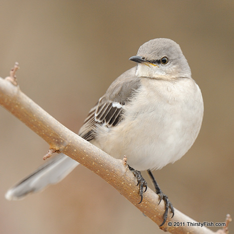 Why is a Mockingbird Called a Mockingbird?