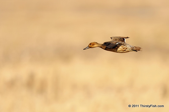Floating Wild Duck
