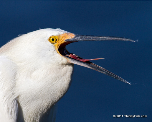 Snowy Egret Tongue