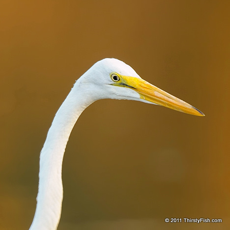Great Egret; Golden Reflections