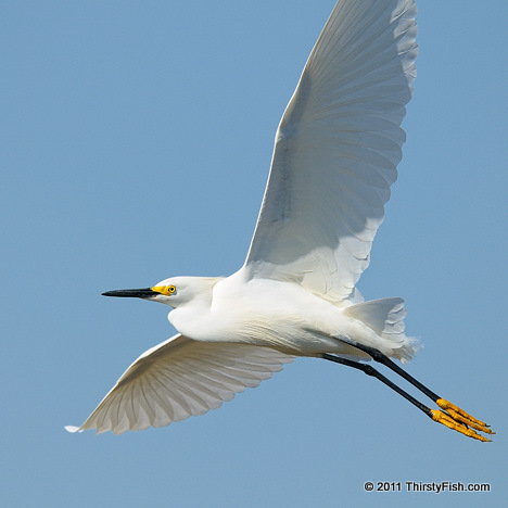 Snowy Egret in Flight - Richard Feynman