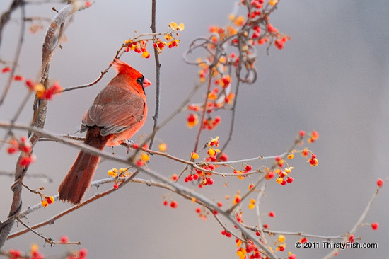 Male Northern Cardinal - Fighting Reflections