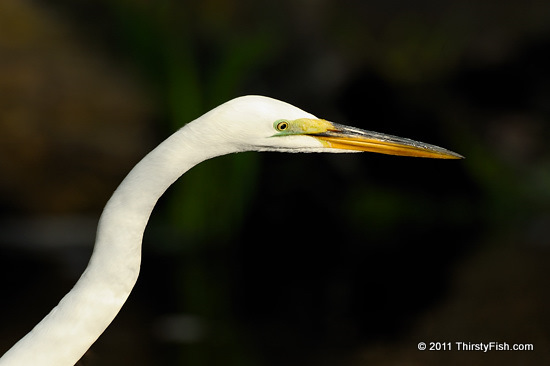The Great Egret - Hat Makers