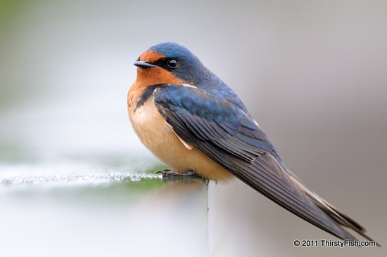 Barn Swallow - Conscious Consideration