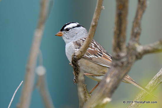 White-crowned Sparrow - Monogamy