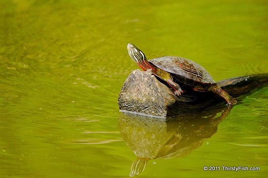 Painted Turtle Basking in the Sun - Evolution; Do We Need to Know?