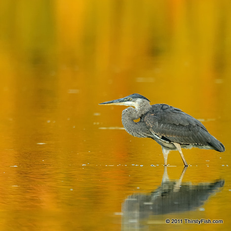 Blue Heron; Golden Reflections... Drawn into the Moment