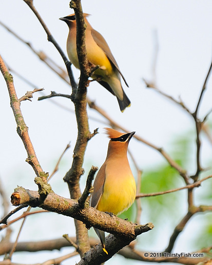 Cedar Waxwings - Flying Under the Influence