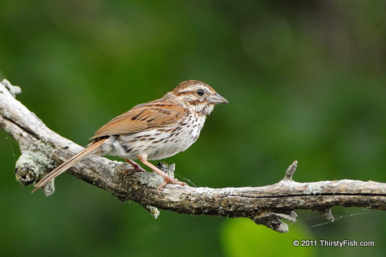 Female Purple Finch - Memory is Constructed