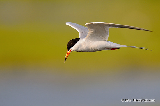 Common Tern - Let Them Eat Cake