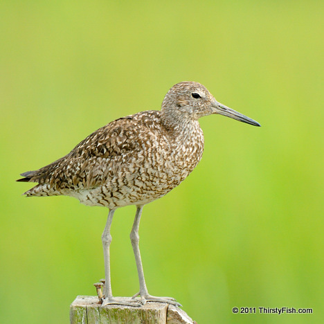 Willet - Species Need Each Other