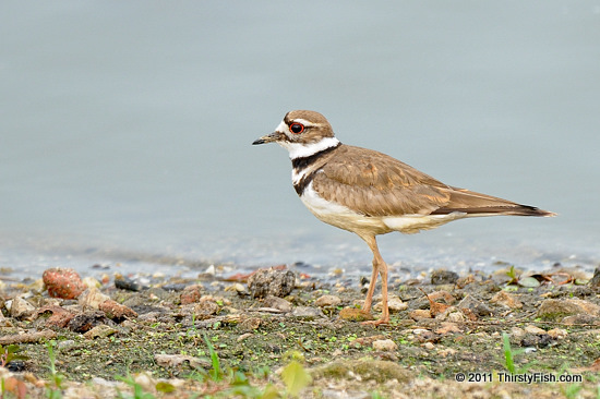 Killdeer - Altruism