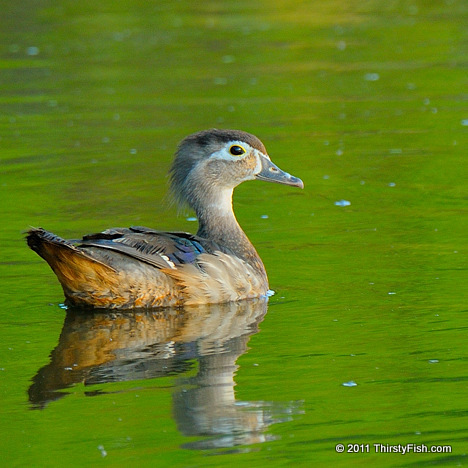 Female Wood Duck - Playing Ducks and Drakes