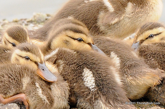 Downy Mallard Duckings