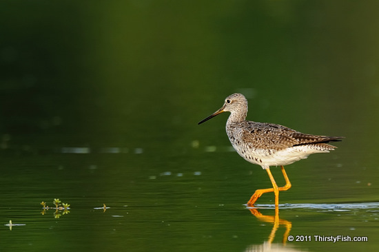 Greater Yellowlegs - ...Desirable To Be Undesirable