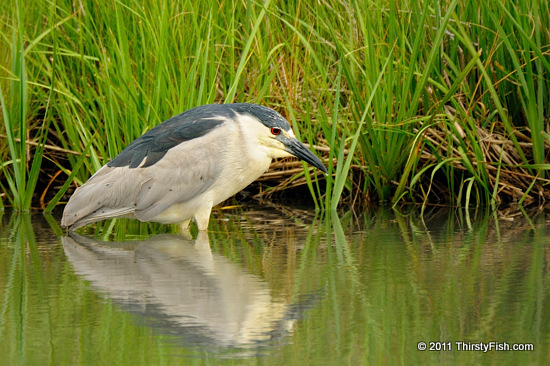 Black-crowned Night Heron - Nocturnality