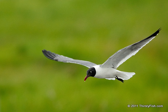 Laughing Gull - Everything Seemingly Has a Purpose...