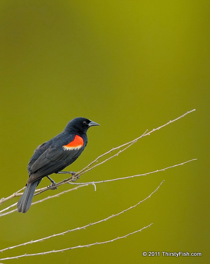 Red-winged Blackbird - Polygyny
