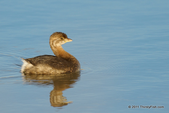 Pied-billed Grebe - A Sad Story of Extinction
