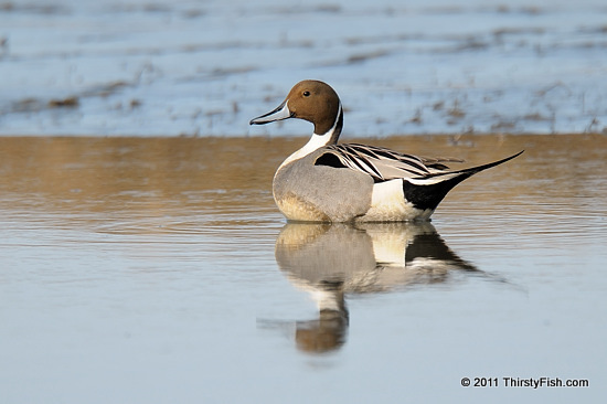 Male Northern Pintail - The Paradox of Plenty