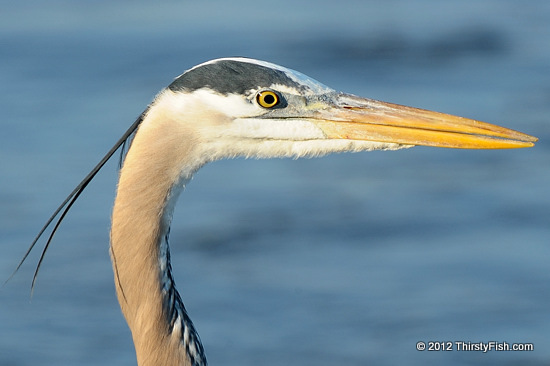 Blue Heron Portrait - Loan From Mother Earth