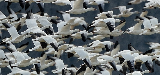 Snow Geese Detail