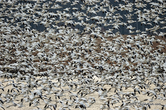 Snow Geese Blizzard at Middle Creek, Pennsylvania