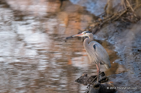 Blue Heron at Darby Creek