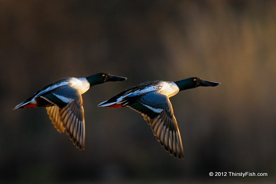 Northern Shovelers in Flight - Not Print-Worthy!
