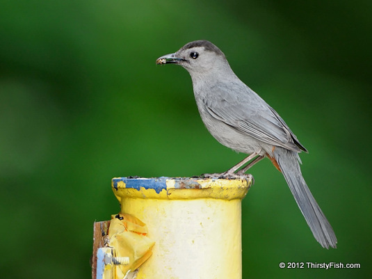 Gray Catbird - John Heinz National Wildlife Refuge