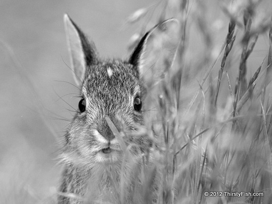 Eastern Cottontail Kit