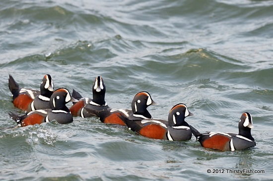 A Paddling of Harlequin Ducks - Saint Francis of Assisi