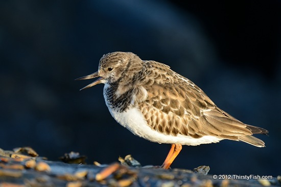 Ruddy Turnstone At Barnegat Light