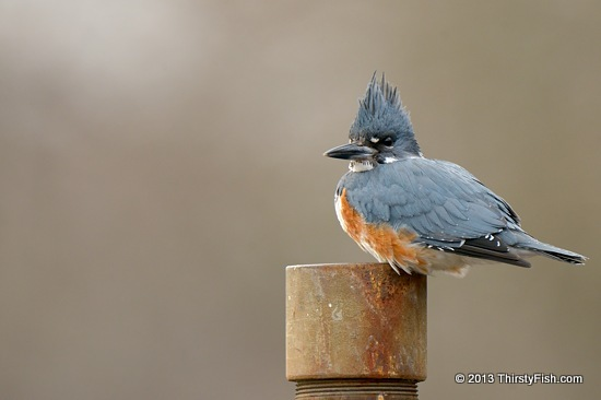 Kingfisher Enduring the Wind