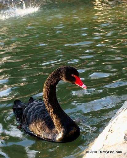 Cygnus Atratus; The Black Swan