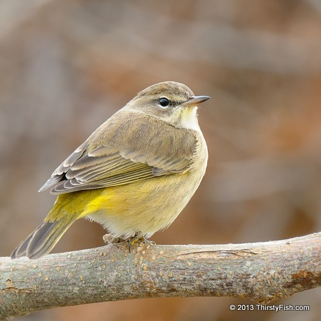 Palm Warbler at Cape May
