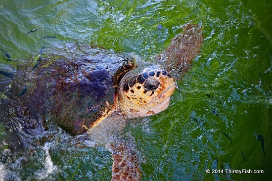 Caretta Caretta, Head Out Of The Water - Mutualistic Symbiosis