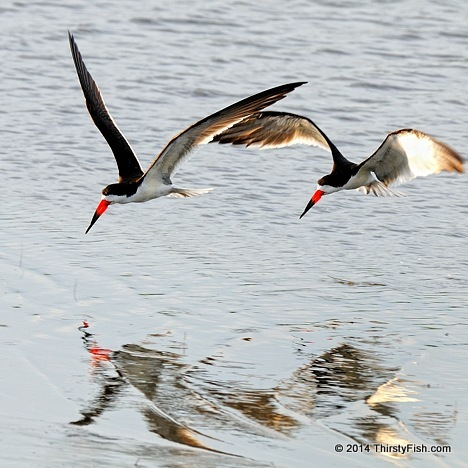 Skimmers in Flight